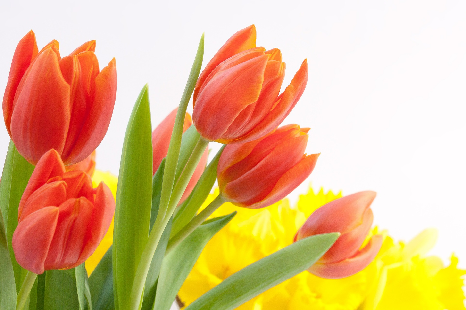 Tulips make an ideal Valentine's Day gift for our beloved.