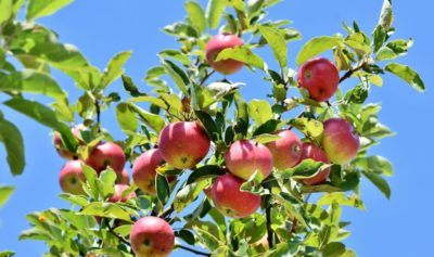 How to Get Rid of Gallstones with Apples: Recipe