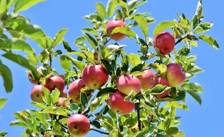 Get rid of gallstones with apples